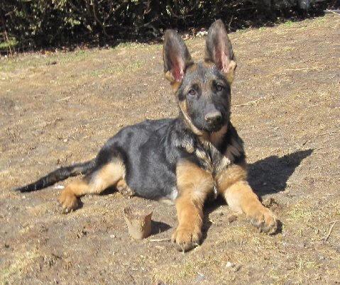 Mystra German Shepherds - Available German Shepherd Puppies